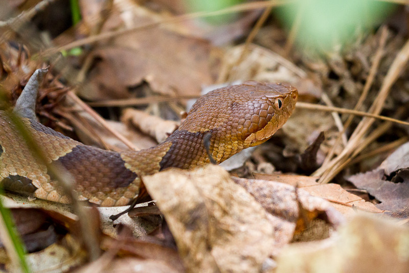 A copperhead slithering through some leaves in First Landing State Park, VA.
