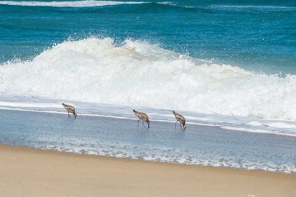 Sand Pipers at Work