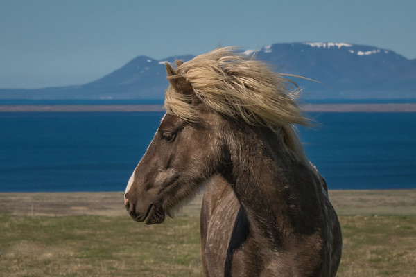 Profile portrait of a lone brown and white Icelandic horse, its blond mane blowing in the wind with water and mountains in the background