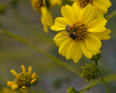 Close up of been on wild yellow daisy