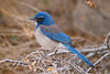 A western scrub jay in Joshua Tree National Park.