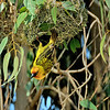Weaver bird and nest