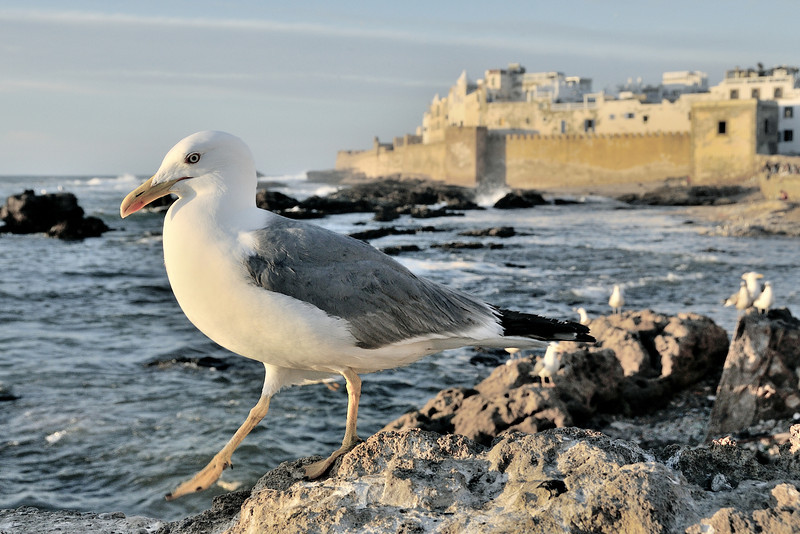 Sea gull on guard in Essaouira