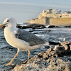 Sea gull on guard in Essaouira