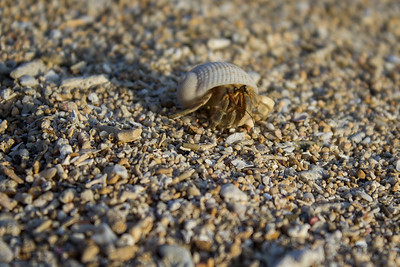 Hermit crab on the beach below Yamanochaya Rakusui.