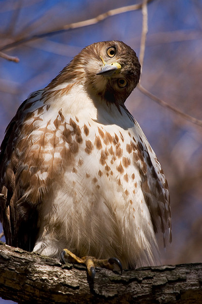 Red tail hawk watching me in Pullen Park