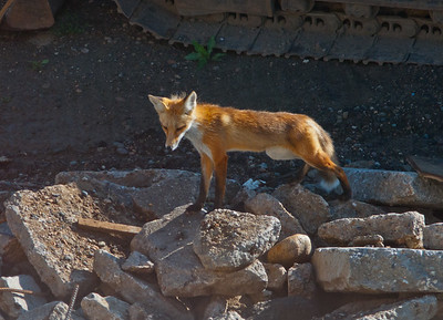 Fox on the Rocks