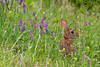 Eastern Cottontail hiding sitting among flowers