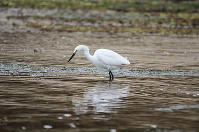 Egret fishing at Sunset Beach.