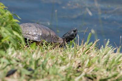 Marsh Turtle