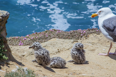 A California gulls watches over her chicks by La Jolla Cove.