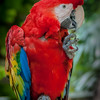 Scarlet macaw in Mexico
