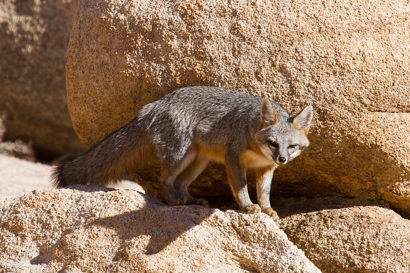 A gray fox wandering around some boulders in Joshua Tree National Park.