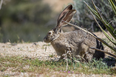 Black tailed jackrabbit near Cottonwood Spring.