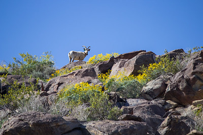 Bighorn sheep with a tracking collar at Anza Borrego Desert State Park.