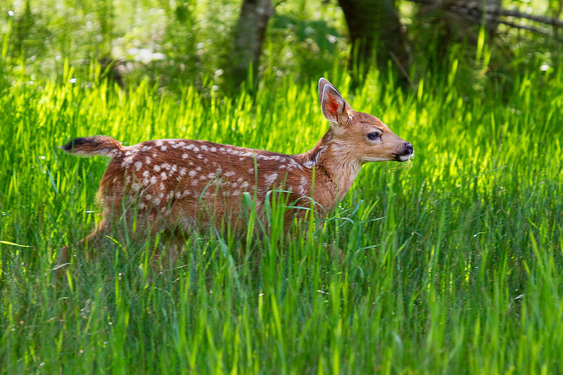 A black-tailed deer fawn running through the grass near Longmire in Mount Rainier National Park.