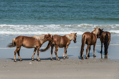 Wild Currituck Ponies on the Beach