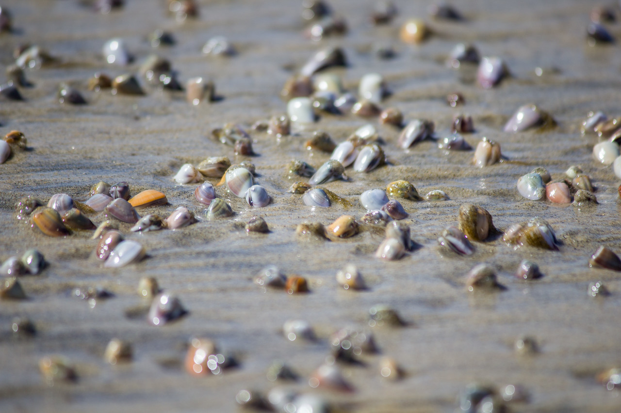 Bean clams wait for the tide at Scripps Canyon.