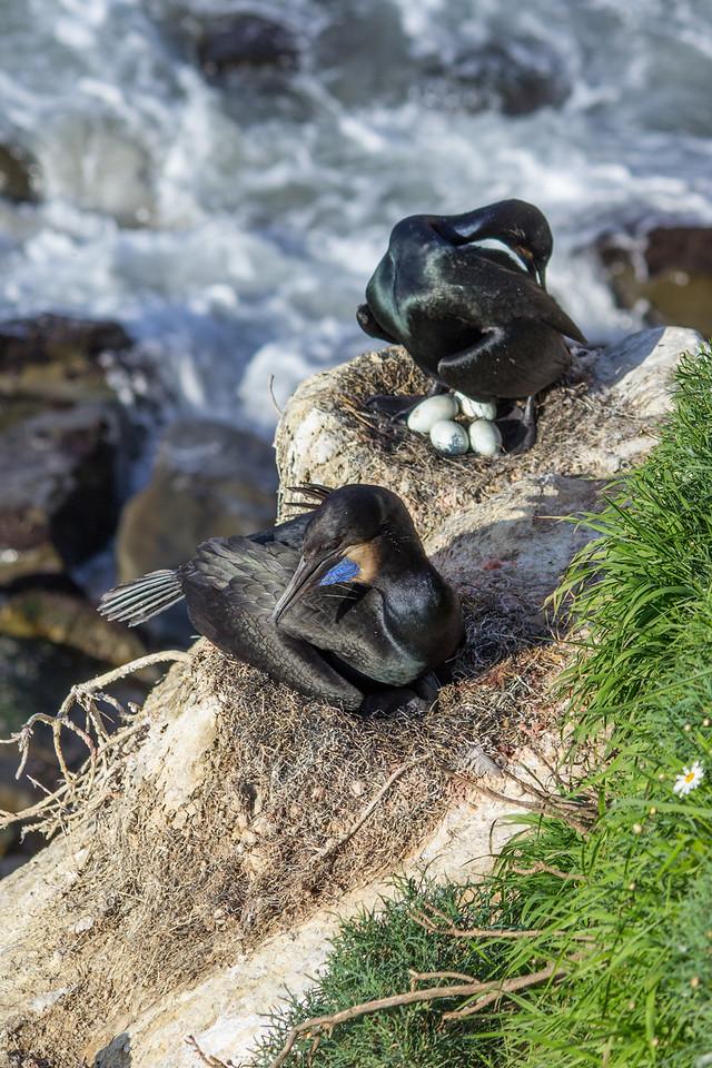 Nesting Brandt's cormorants above La Jolla Cove.