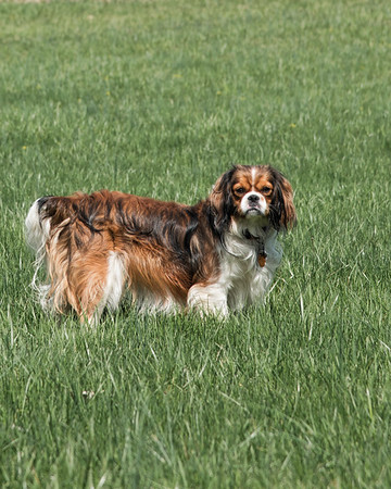 Sophie - King Charles Spaniel