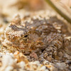Flat tailed horned lizard in Anza Borrego Desert State Park.