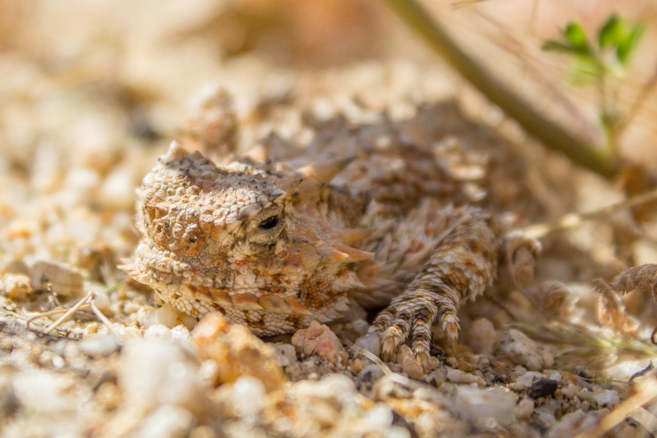 Flat tailed horned lizard in Anza Borrego Desert State Park.