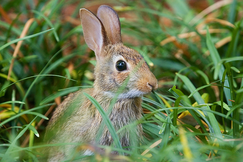 Eastern Cottontail eating grass on Elon University's campus.