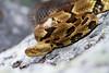 A lone timber rattlesnake soaking up some heat