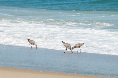 Sand Pipers in Surf