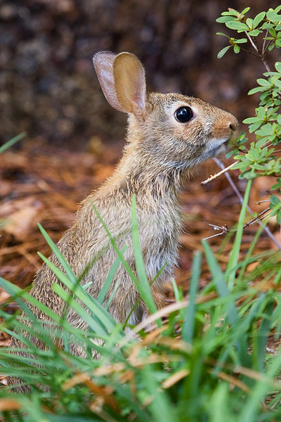 Eastern Cottontail nibbling on a bush on Elon University's campus.