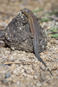 Common side blotched lizard at Cottonwood Campground.