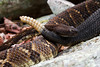 One timber rattlesnake slithers by the tail of another