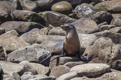 A California sea lion blends in with the rocks near La Jolla Cove.