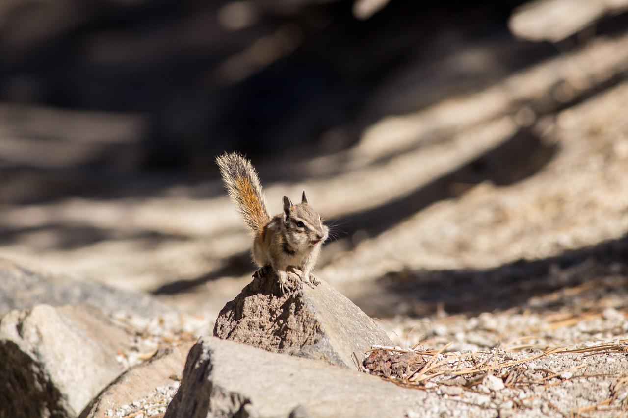 Chipmunk at Devil's Postpile.