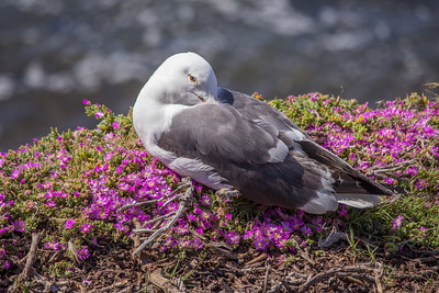 A Western gull rests on a bed of flowers at Boomer Beach.