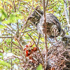 A great horned owl and her chick peer down from their nest in Cardiff.