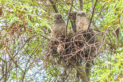 Female great horned owl and her almost fledglings in Cardiff.