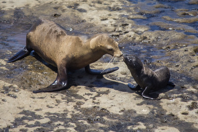 A California sea lion comforts her pup at La Jolla Cove.