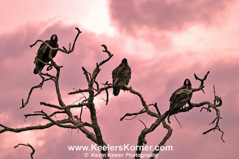 "Three Buzzards at Sunset<br /> <br /> BW Version Available in the Gallery ""Black and White."""