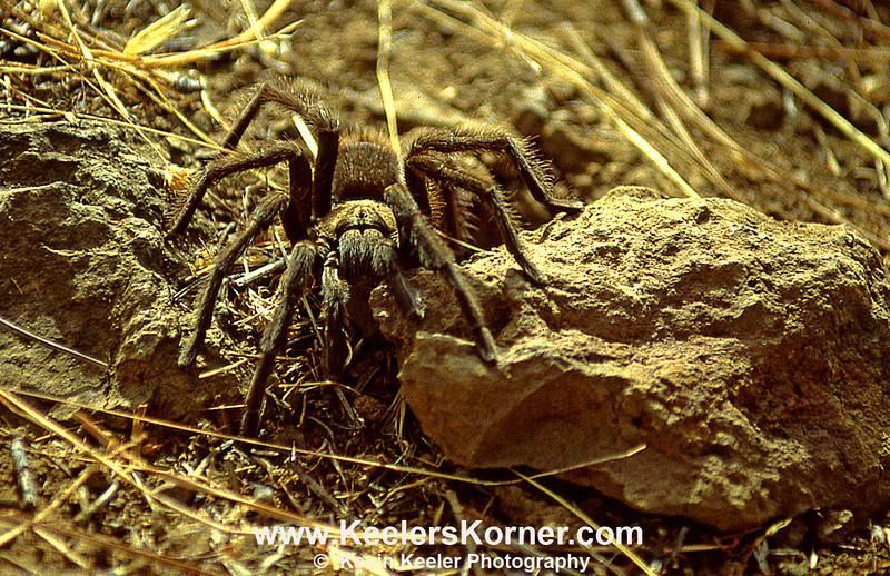 Another Tarantula