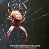 Say Hello To My Little Friend. Basic Orb Spider.<br /> <br /> This guy looks spectacular when viewed full size.