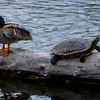 Duck and Turtle 1