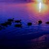 Twilight Geese