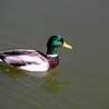 Green Headed Duck