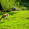 Gazelles and an Ostrich (Gazella and Struthio camelus)