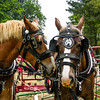 Two Horses in Tack (Equus caballus)