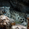 Growling Snow Leopard (Panthera uncia)