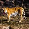 Sneezing Tiger (Panthera tigris)