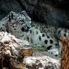 Growling Snow Leopard (Panthera uncia) 2