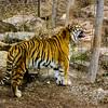 Growling Tiger (Panthera tigris)